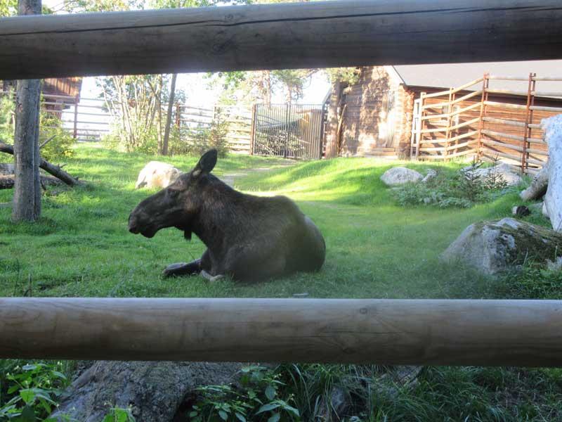 حیوانات اسکاندیناوی در باغ وحش مجموعه اسکانسن استکهلم